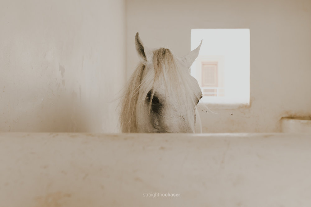 Arabian horses in Souq Waqif Doha, Qatar: Honeymoon Travel Photos