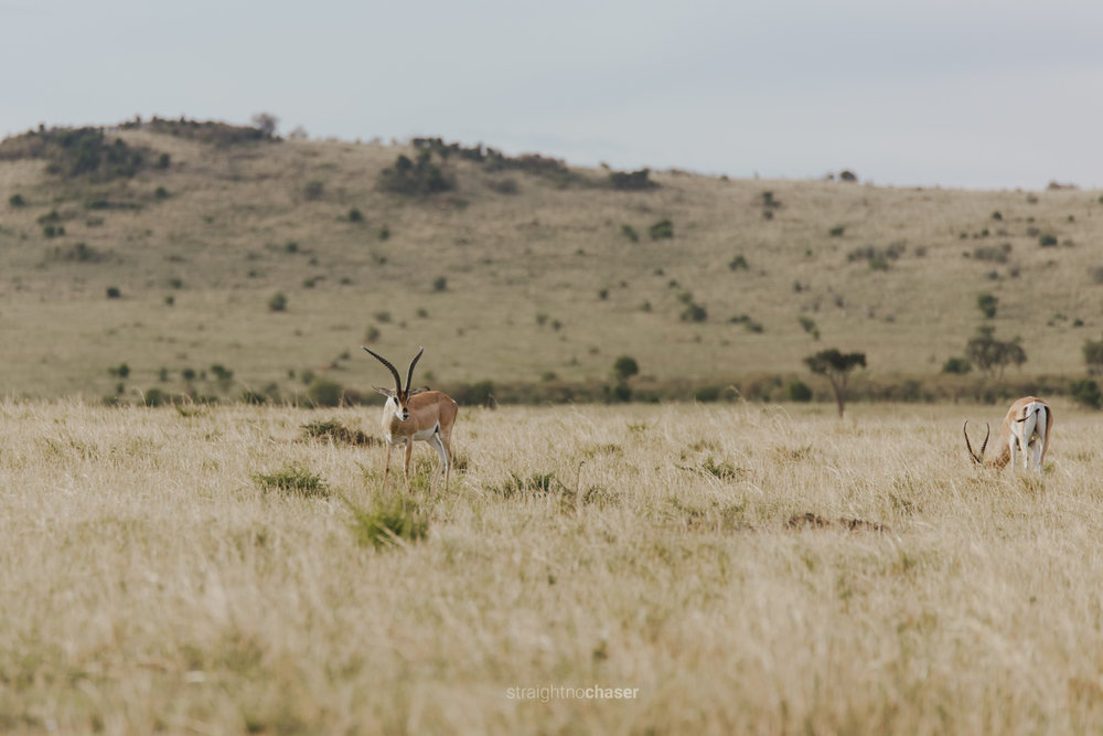 Safari diary part 1: Impalas in the Masai Mara