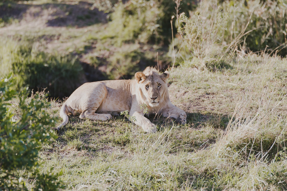 Young lion in the Masai Mara