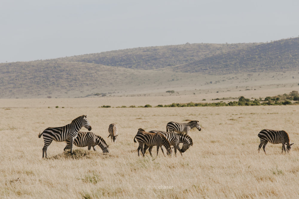 Safari diary part 1: zebras Masai Mara