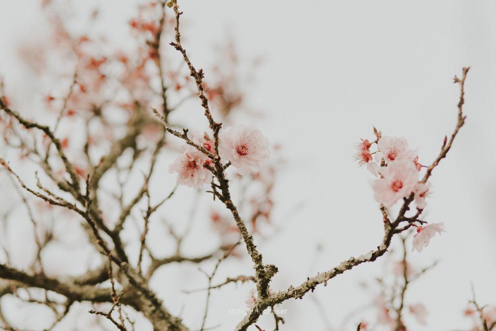 Cherry blossoms Yarralumla Canberra