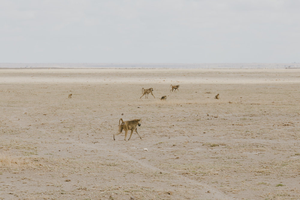 Kenya safari diary: Monkeys in Amboseli National Park