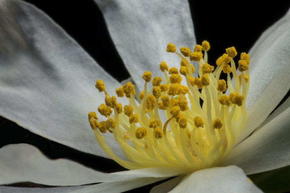 Camellia virgata III