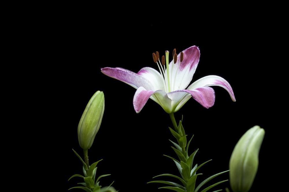 Lilium Speciosum II