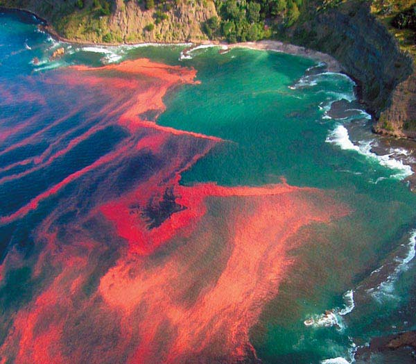 """A harmful algal bloom (a.k.a. """"red tide"""") off the coast near cape rodney, nz.  Courtesy: Red tide general collection, carleton college"""