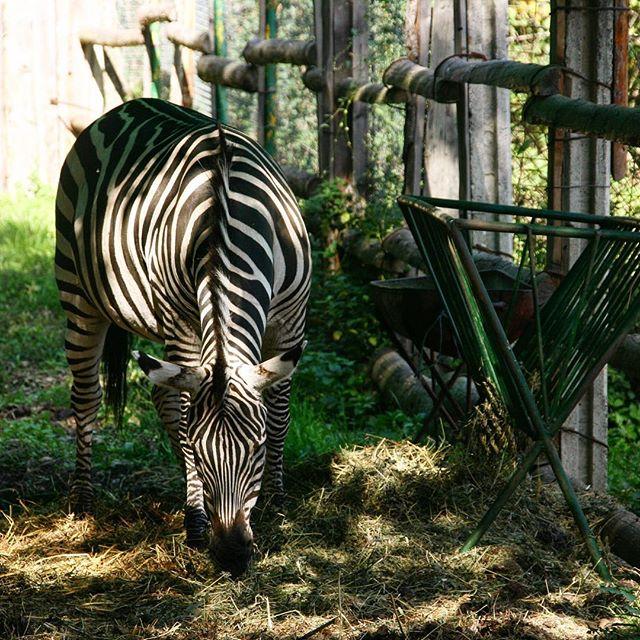 #zoo #sibiu #visitromania #zebra #travel #instagood #blogger #tbt