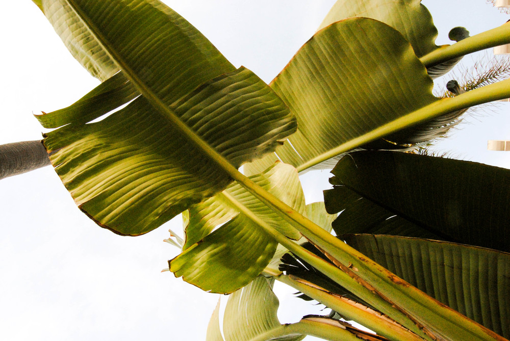 san-diego-tropical-palm-leaf