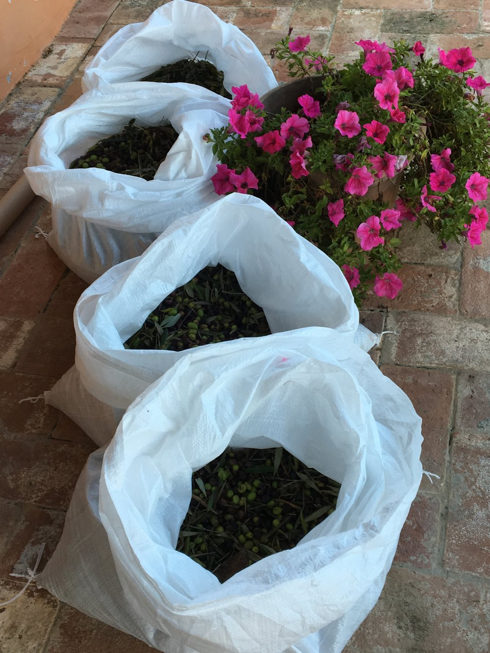 Sacks of precious olives ready for pressing