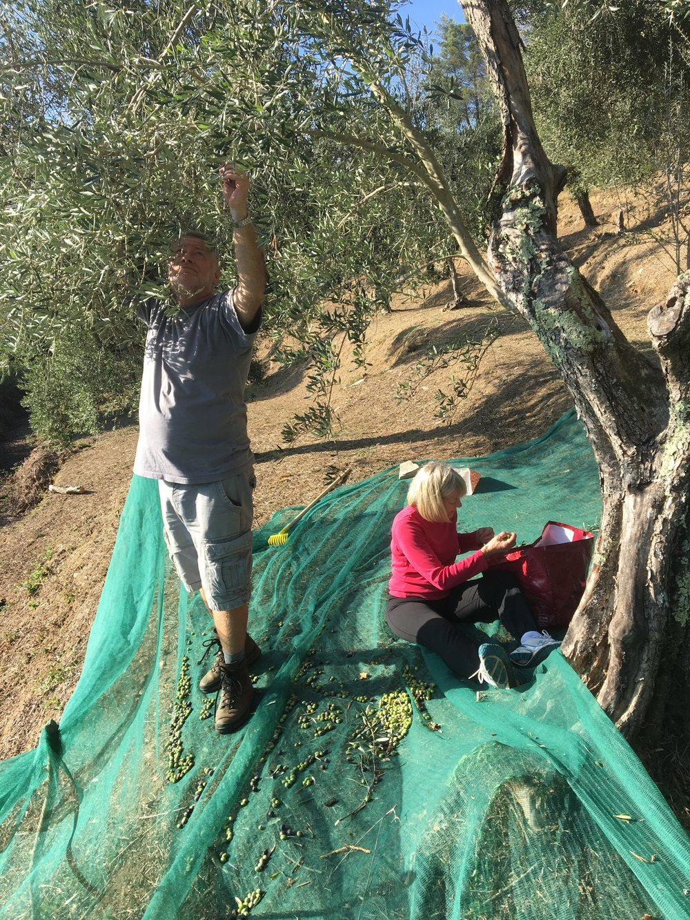 OCTOBER 2018 CLEARSPACE - The Peaceful Olive Harvest.You missed it!Oct 24-30 2018 - We collected 230 Kg of olives this year and are unbelievable proud to say that the yield was 19%!Anyone coming on the retreats in 2019 will be able to enjoy our extra virgin olive oil.Bottles of 250 , 500 and 750 ml are available to purchase on site and from England (email celia@clearspacetuscany.com for details and to book for next year)