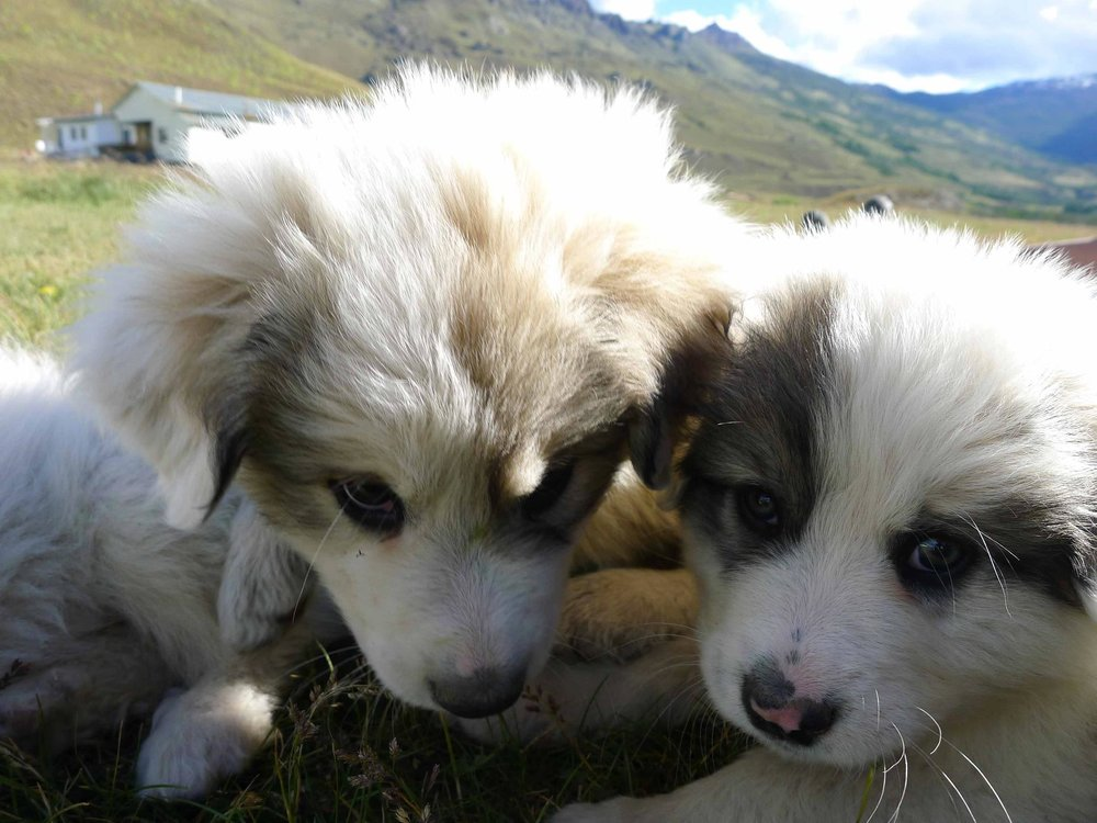 Puppies for the livestock guardian dog program