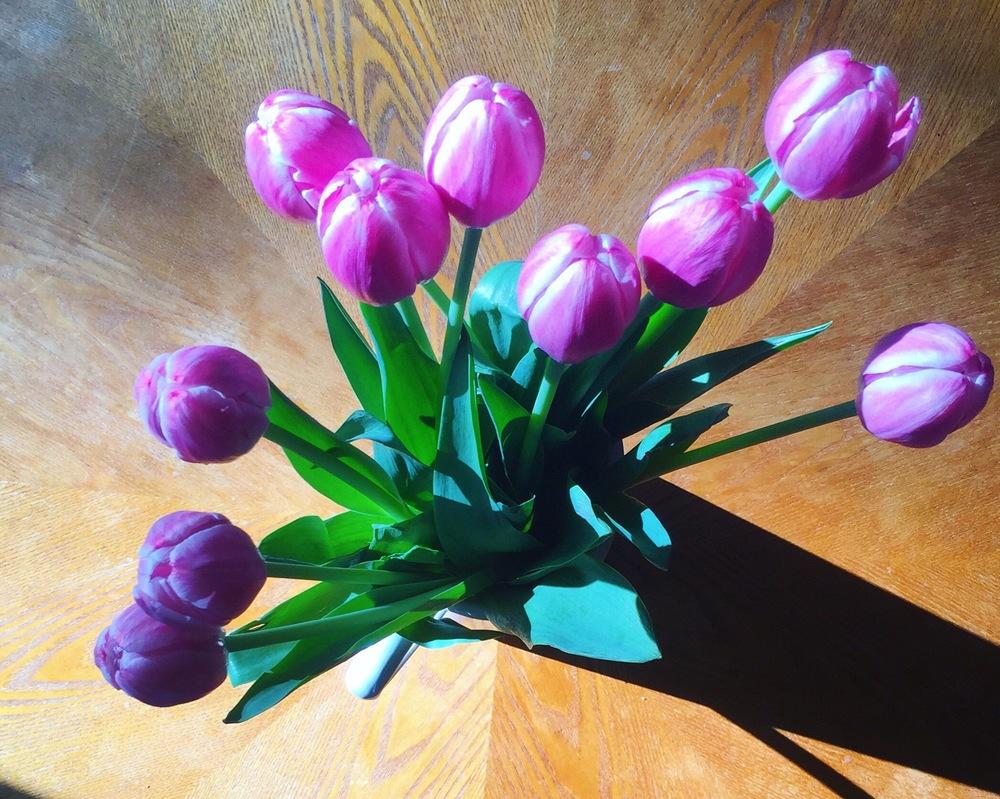 purple-tulips-in-morning-sun-light-may