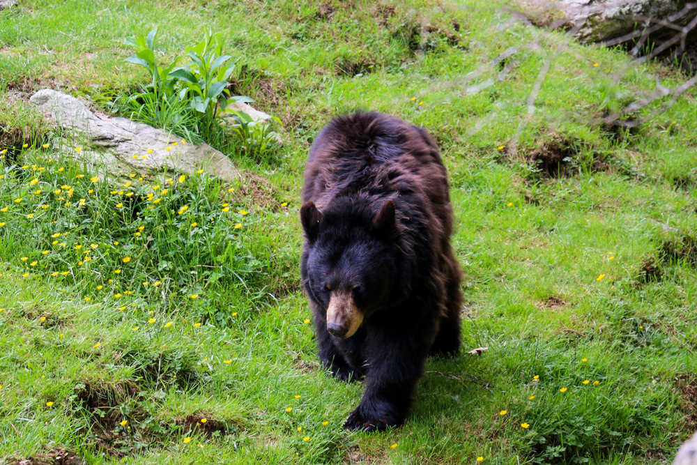 grandfather-mountain-wildlife-habitat-bear