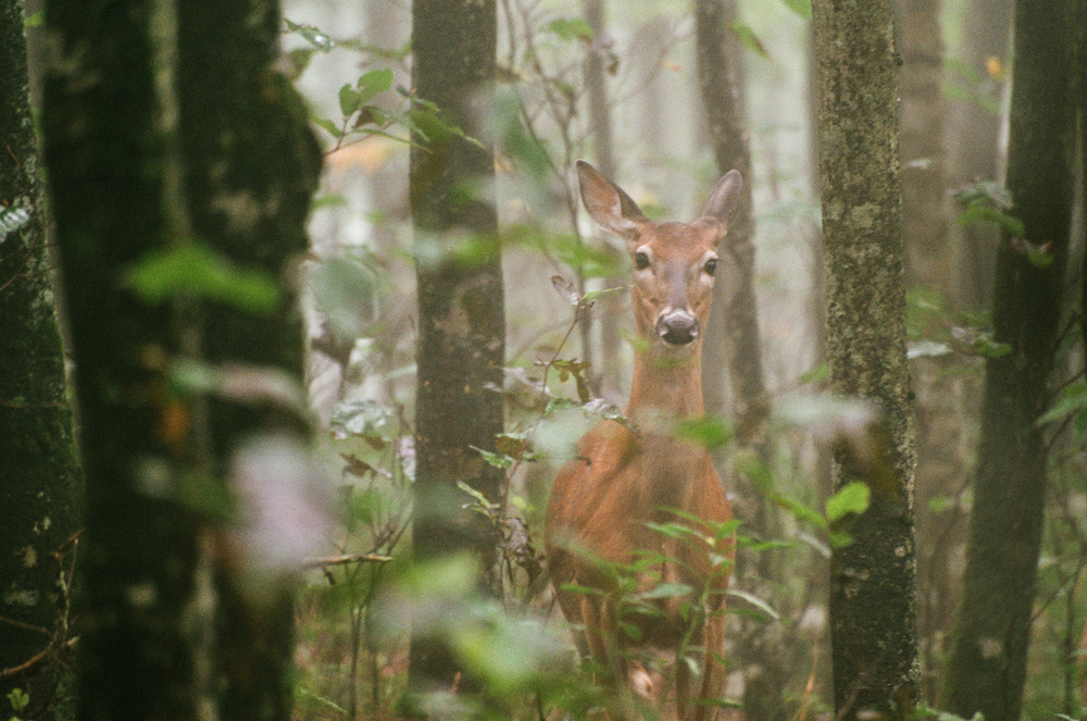 Whitetail Doe in Morning Mist, Elk Knob State Park, NC. Fuji Superia Ultra 400. (copyright 2015 Jon Reaves Photography)