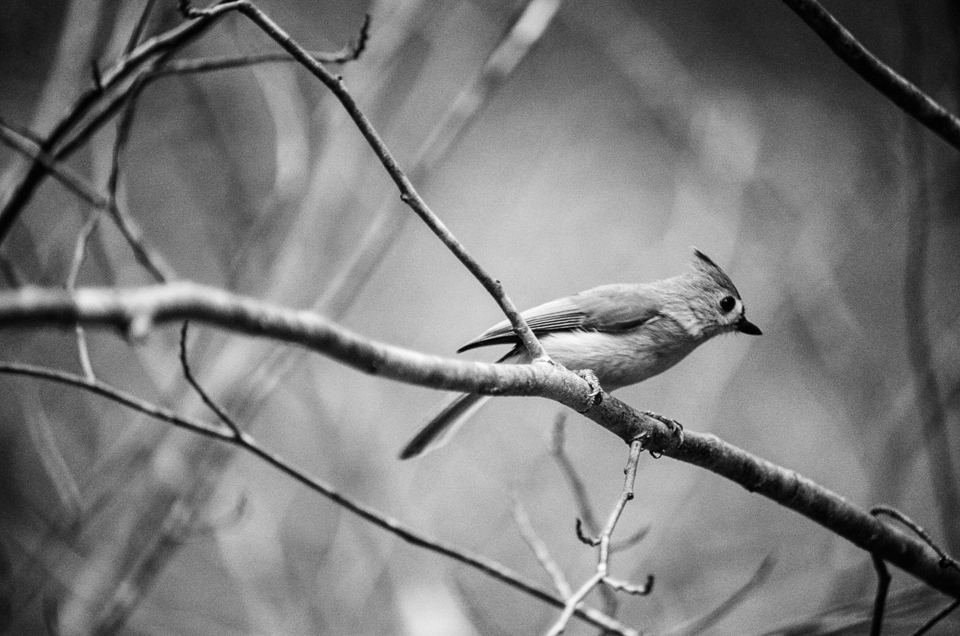 Tufted Titmouse. Kodak Ektar 100 converted to black and white in post. (copyright 2015 Jon Reaves Photography)