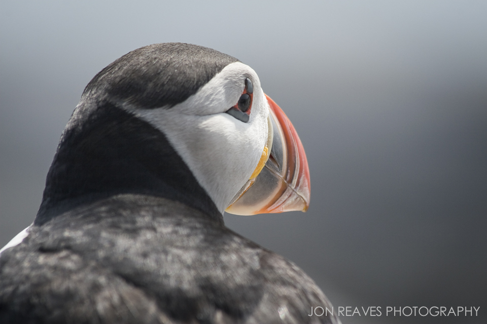 Atlantic Puffin Portrait, Machias Seal Island