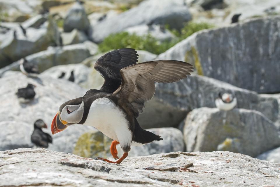 Atlantic Puffin taking flight, Machias Seal Island