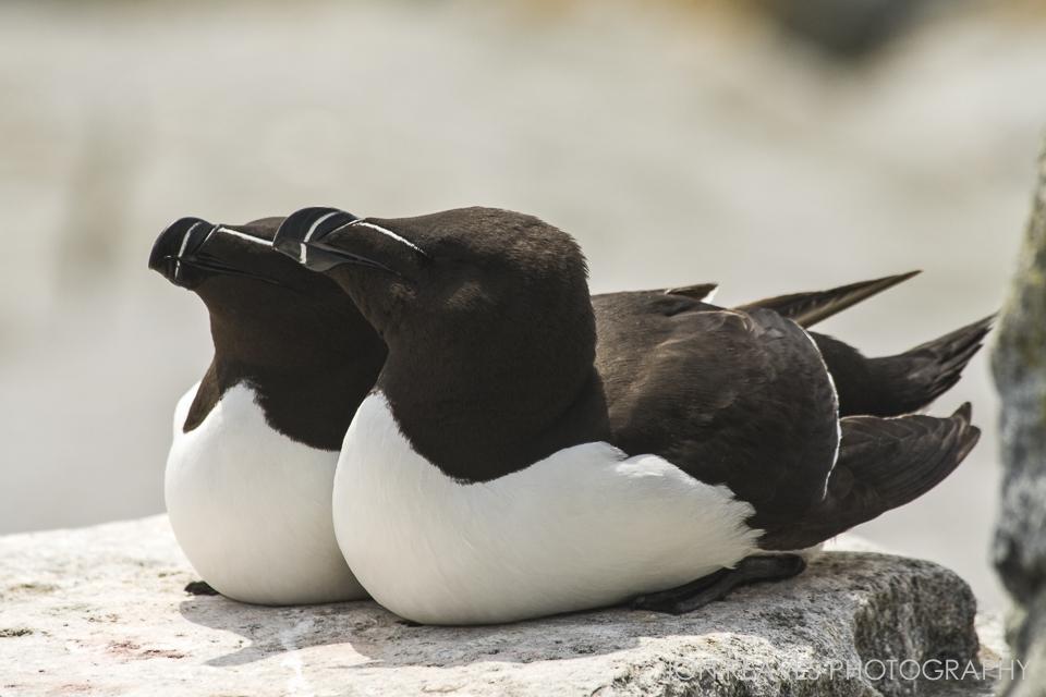 Razorbill Auks also frequent Machias Seal Island