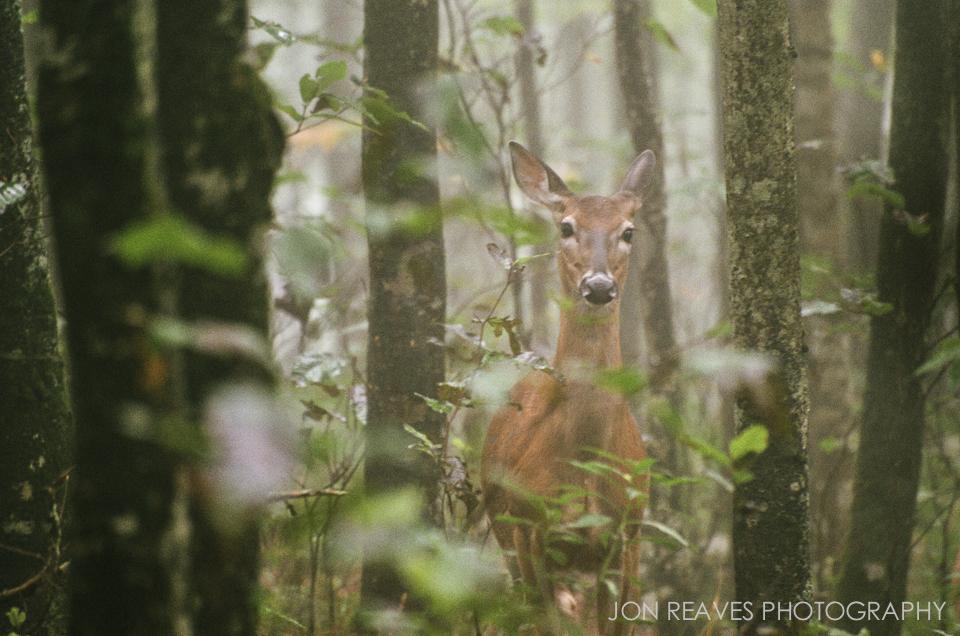 Whitetail Doe in Forest Mist, Elk Knob State Park, NC. Nikon F100, Nikkor 70-300 VR.