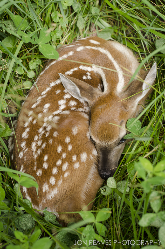 Whitetail Fawn Hiding in Clover, Creston, NC. This is one of my best selling images. Nikon D7000, Nikkor 50 f1.8G