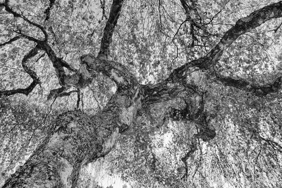 Twisted Birch, Skogskyrkogården