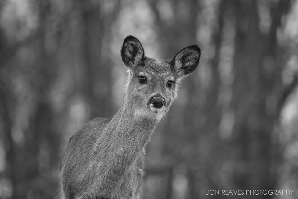 Young whitetail deer near Price Lake, North Carolina.
