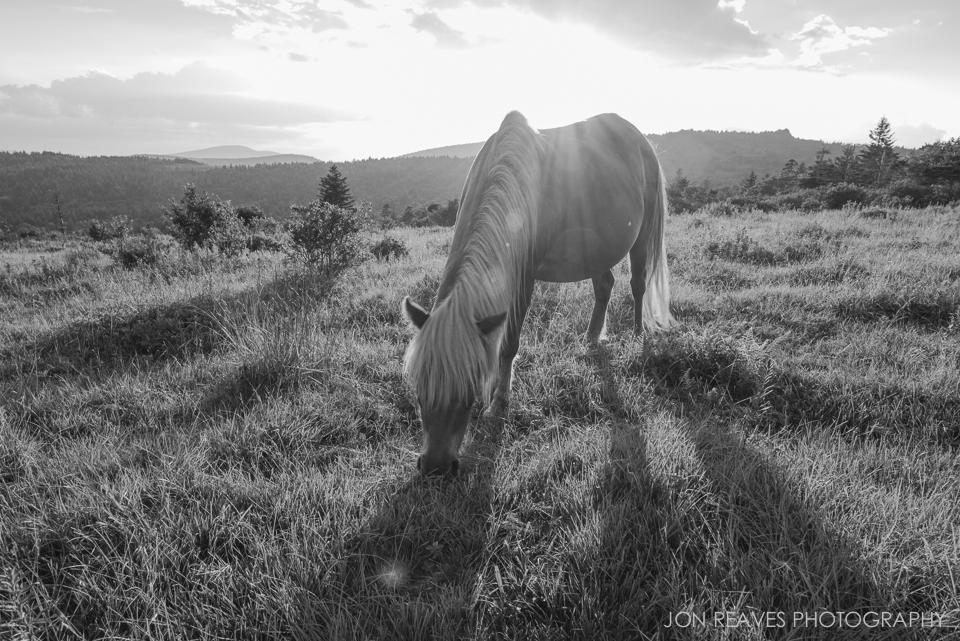 Wild/Feral Pony grazing in Grayson Highlands State Park, Virginia