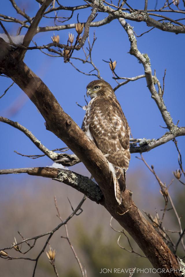 Juvenile Red-tailed Hawk in winter poplar, Valle Crucis Park, North Carolina.