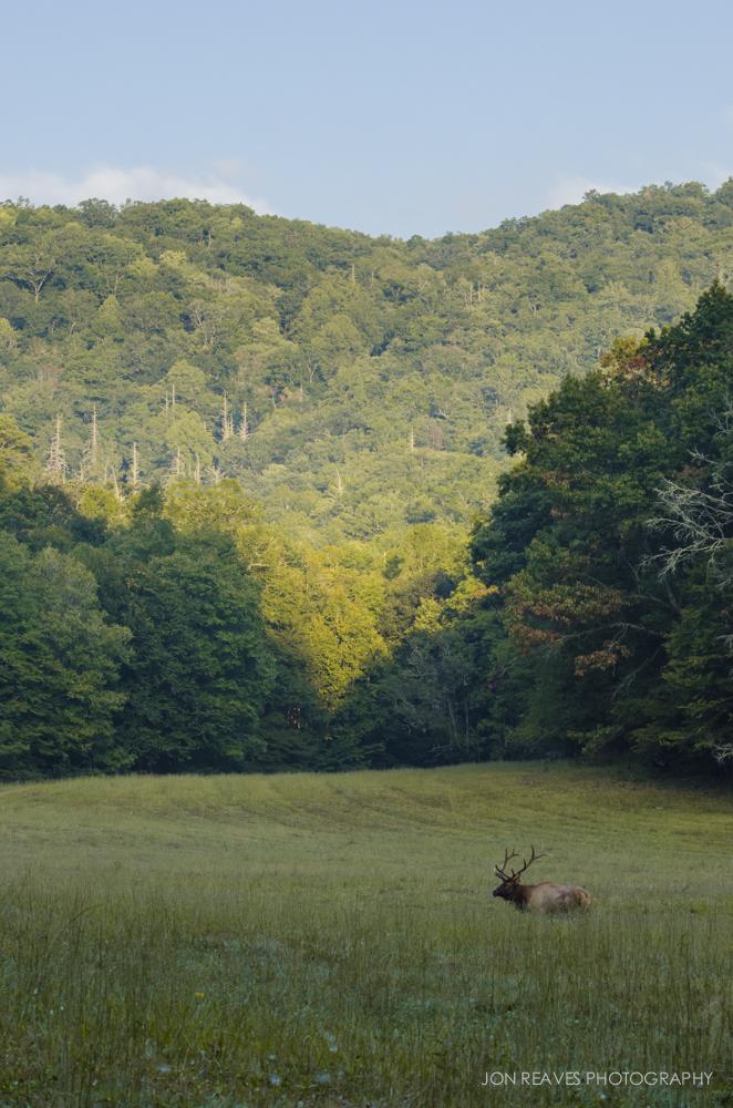 Bull Elk in a Mountain Meadow.