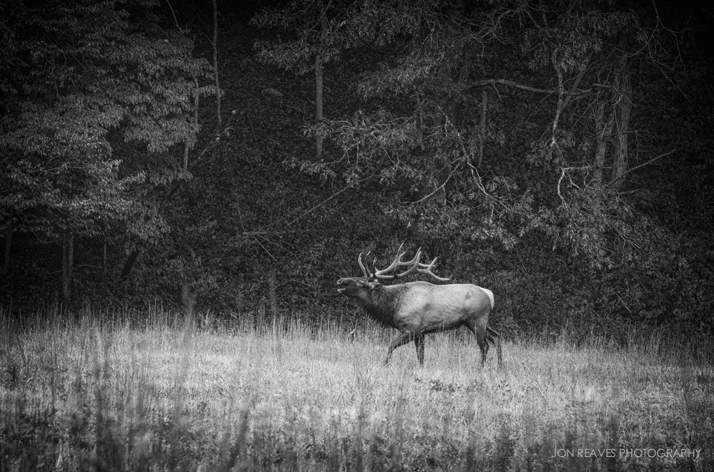 Bull Elk Bugling at Forest Edge.