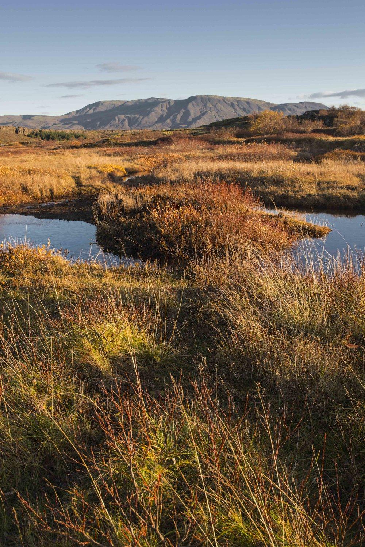 Rock Ptarmigan, Thingvellir National Park