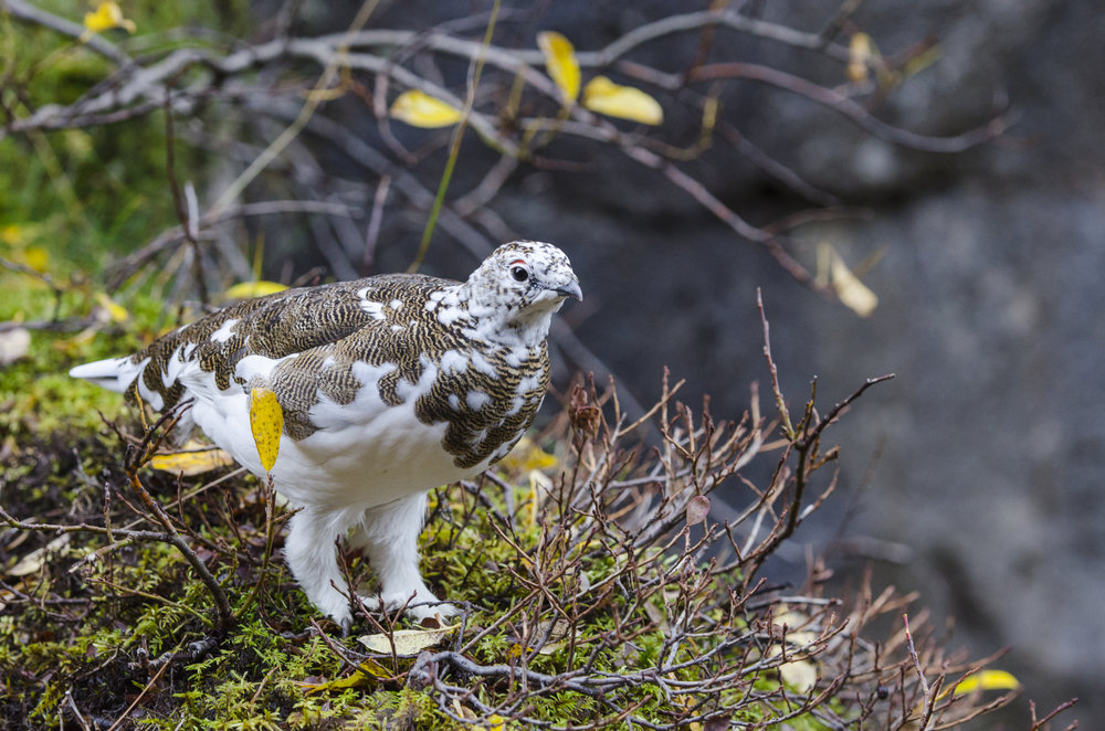 Rock Ptarmigan, Thingvellir National Park