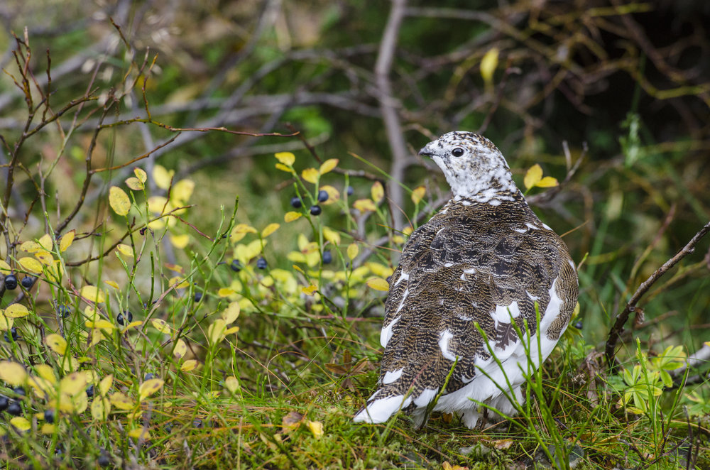 Rock Ptarmigan,Thingvellir National Park