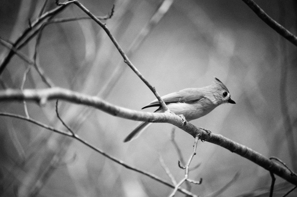 Tufted Titmouse on Black and White Film