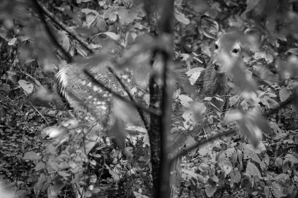 Deer Fawn Hiding