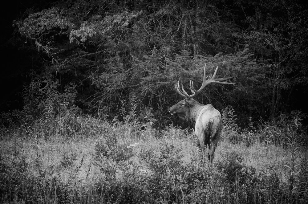 Bull Elk, Cataloochee Valley, Great Smoky Mountains