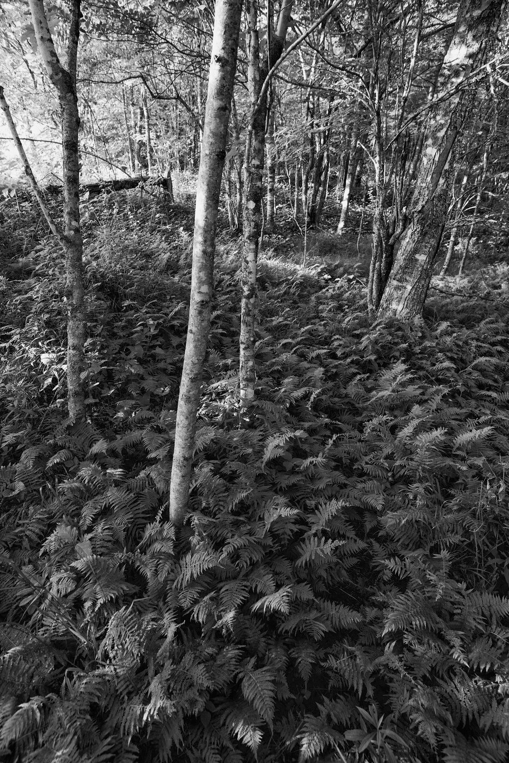 Ferns and Forest Floor