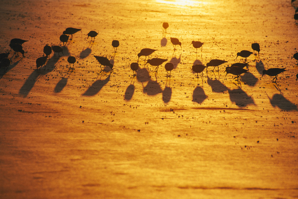 Red Knots in Sunrise, Sunset Beach