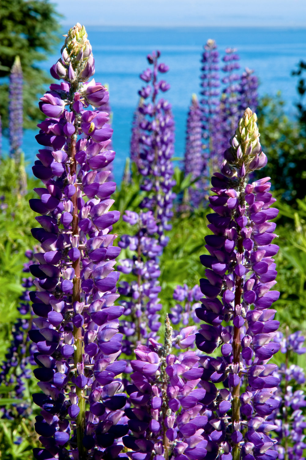 Lupine, Seal Cove