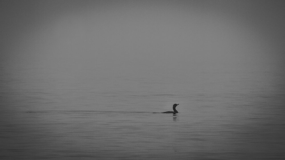 Cormorant in mist, Seal Cove