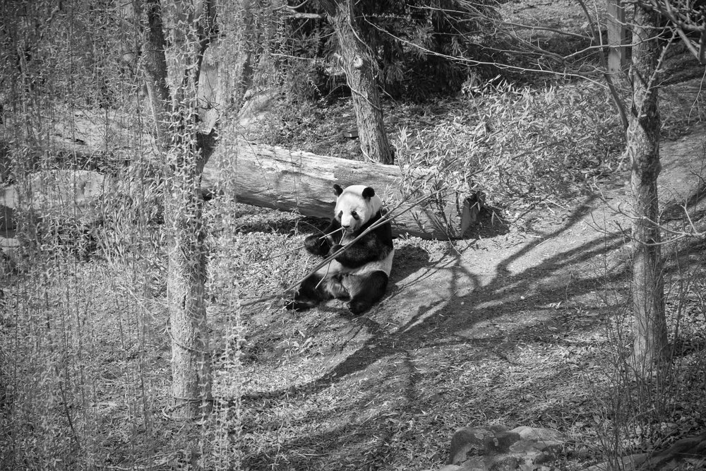 Panda eating bamboo at the National Zoo, Washington, DC