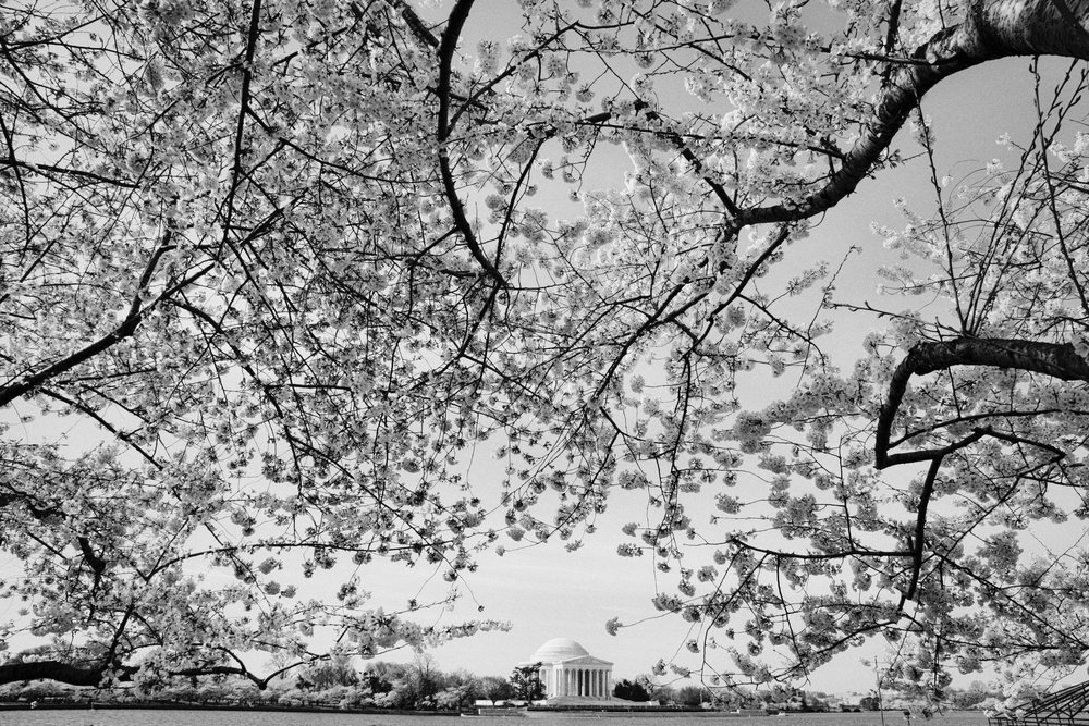 Cherry Blossoms and Jefferson Memorial, Washington, DC