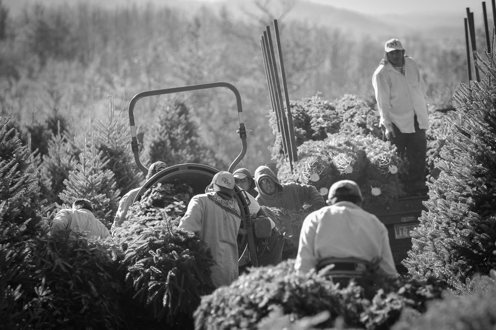 Migrant workers cutting and bailing Fraser Firs (Christmas Trees) on a farm in the rural Blue Ridge Mountains, North Carolina.