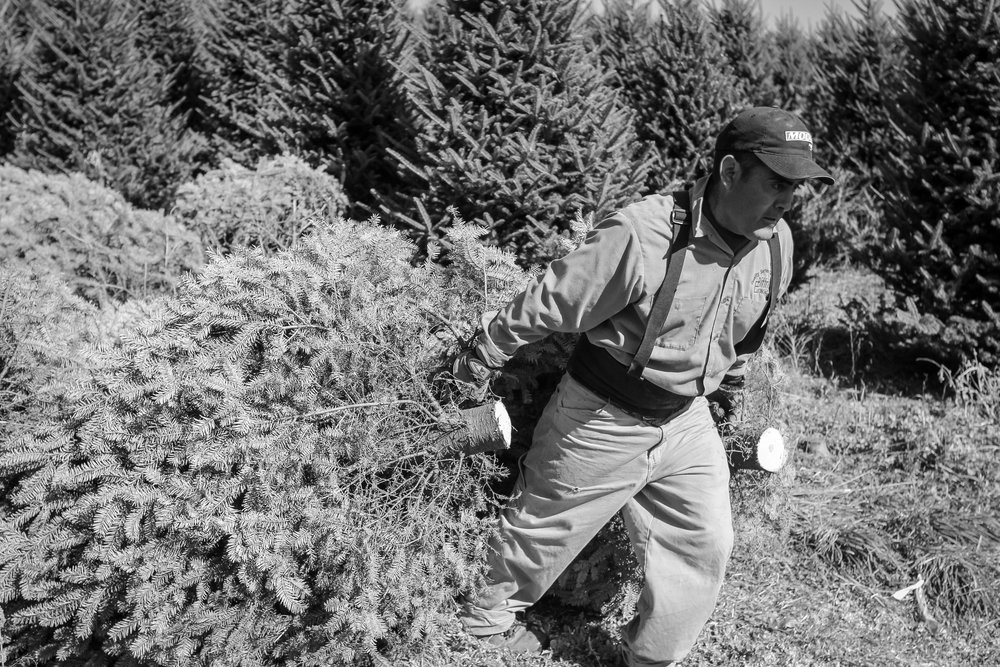 Migrant worker dragging Fraser Fir (Christmas Tree) on a farm in the rural Blue Ridge Mountains, North Carolina.