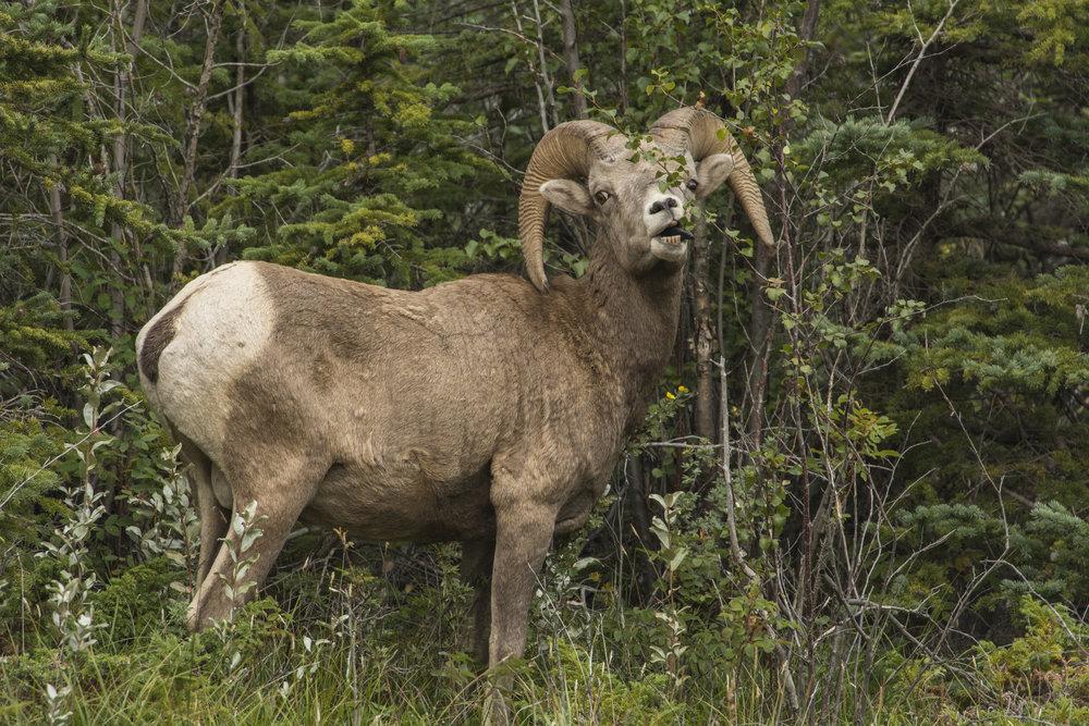 Rocky Mountain Bighorn Ram, Jasper National Park, Alberta, Canada