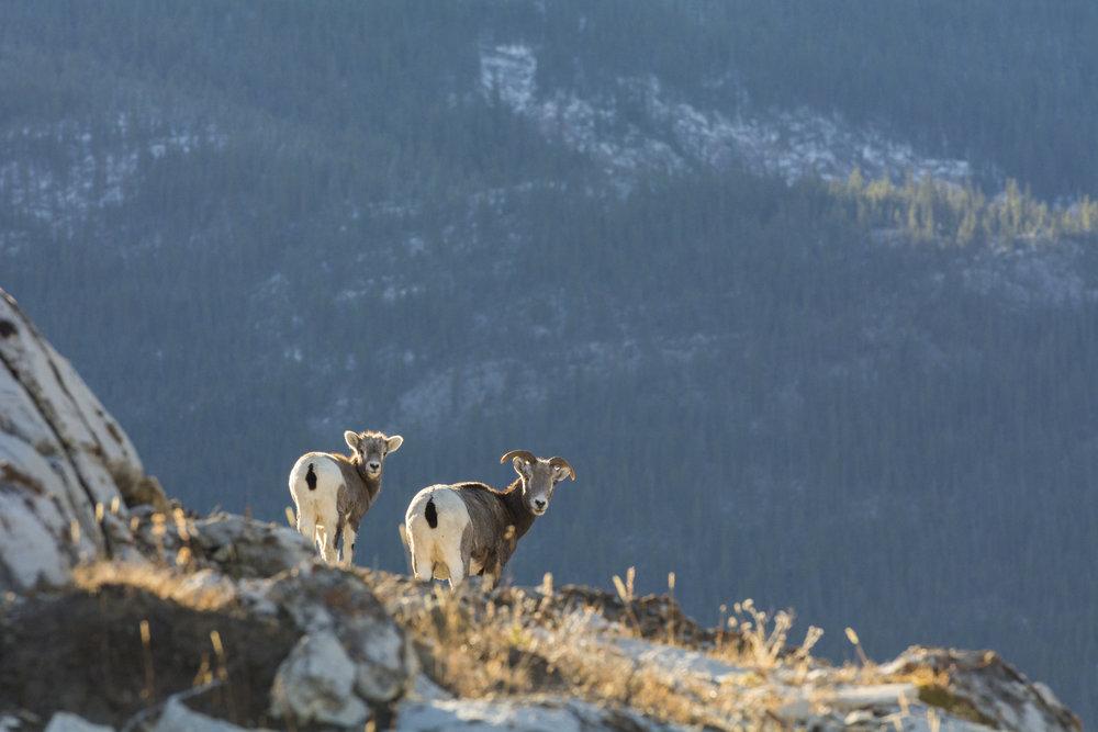 Bighorn ewe and her young lamb, Jasper National Park