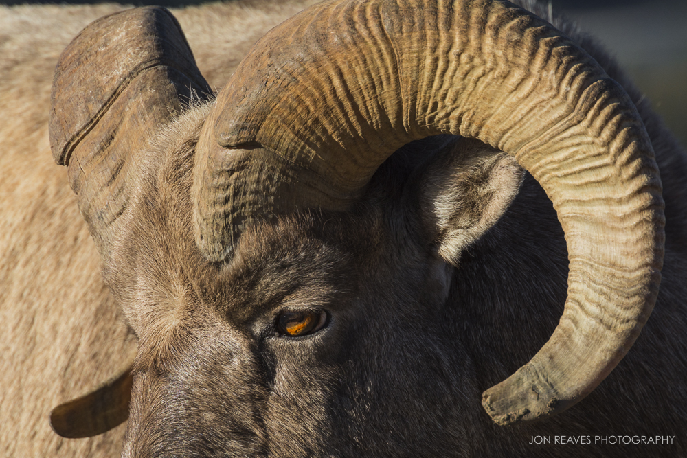 Bighorn Ram close-up, Jasper National Park