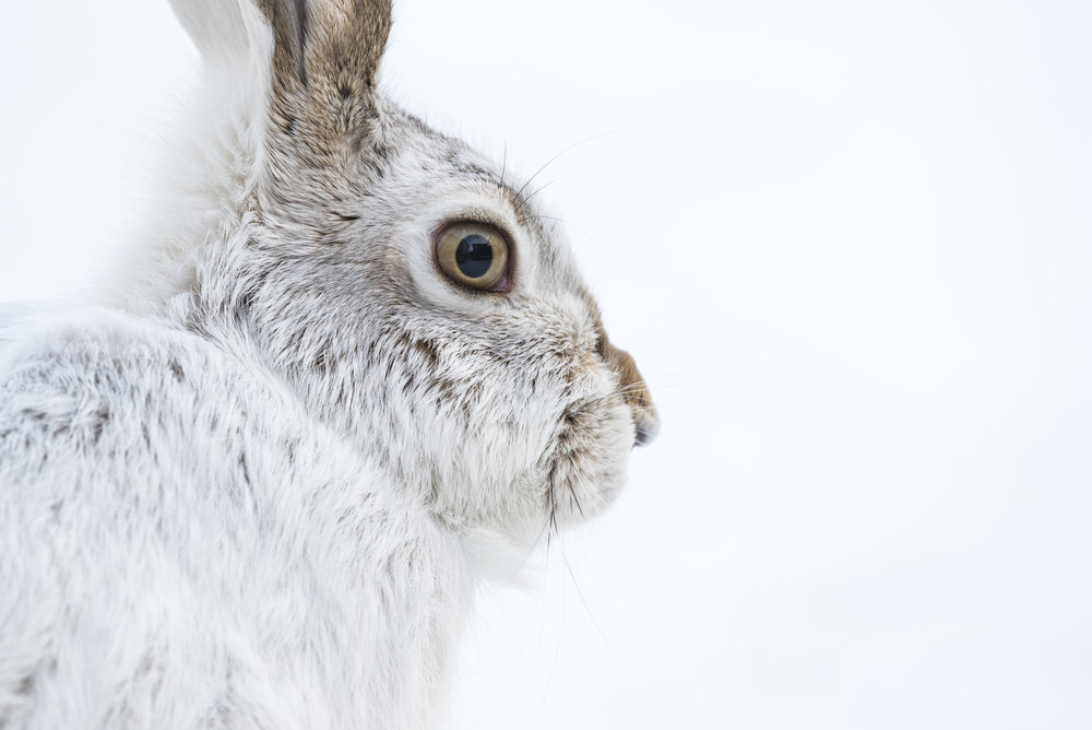 White-tailed Jackrabbit in winter, Alberta, Canada