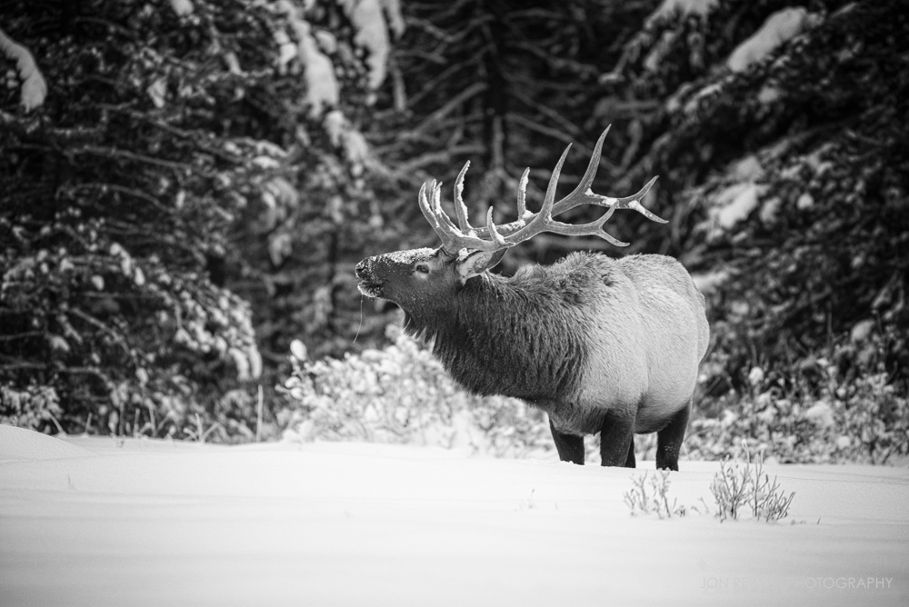 Elk in Winter, Banff National Park