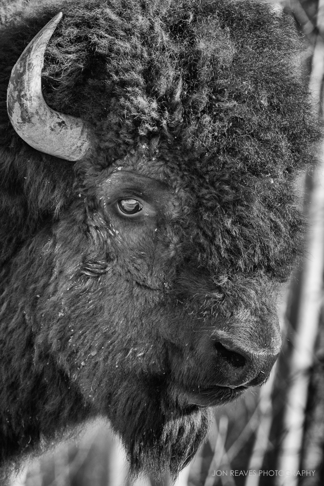 Plains Bison Portrait, Elk Island National Park