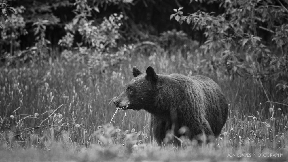 Black Bear eating dandelions, Jasper National Park